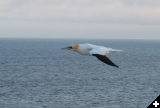 [another-gannet 1403918600 o]